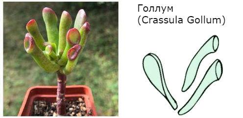 Голлум (Crassula Gollum)