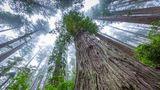 Ученые подсчитали точную биомассу самых больших деревьев мира 1