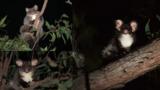 В Австралии обнаружили два новых вида сумчатых 1